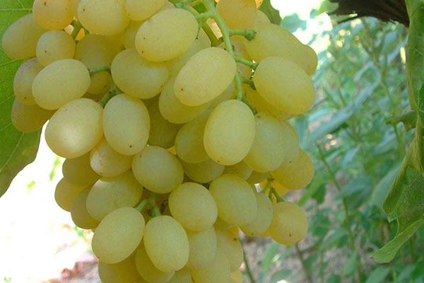 Çekirdeksiz üzüm nasıl oluyor?